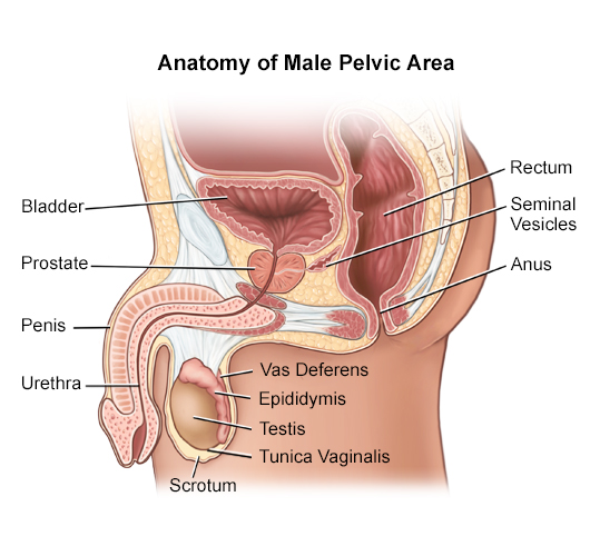 Modern Anatomy Pelvic Area Image Collection - Anatomy And Physiology ...