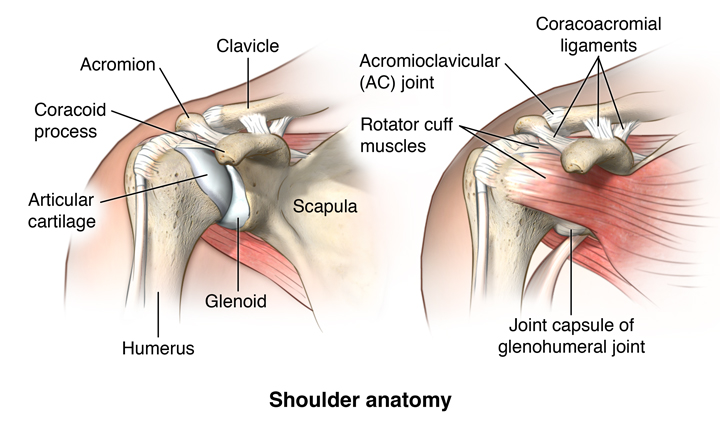 Facts About The Spine Shoulder And Pelvis Health Resources