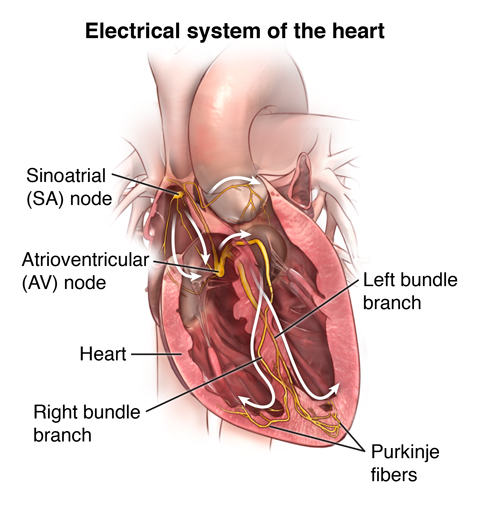 Anatomy And Function Of The Hearts Electrical System Health