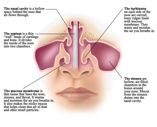 Understanding nasal anatomy inside view health resources other structures inside and behind the nose help you breathe learning the anatomy of the nose can help you further understand how the nose works ccuart Images