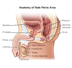 Overview of the Male Anatomy | Lifespan