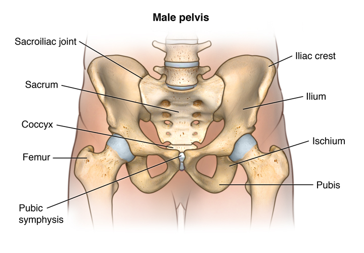 Anatomy Of The Male And Female Pelvis Lifespan