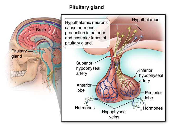 Pituitary Gland Lifespan