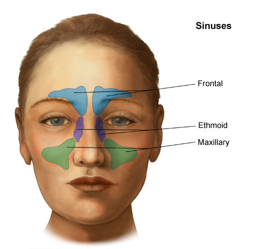 Anatomy And Physiology Of The Nose And Throat Lifespan