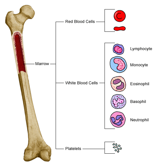 Overview of Blood and Blood Components - Health Encyclopedia