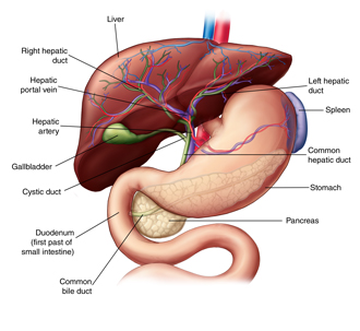 Anatomy of the liver and biliary system, including the stomach, pancreas, gallbladder, biliary tree, and blood supply.