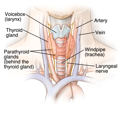 Thyroid Gland Health Library Barnes Jewish Hospital